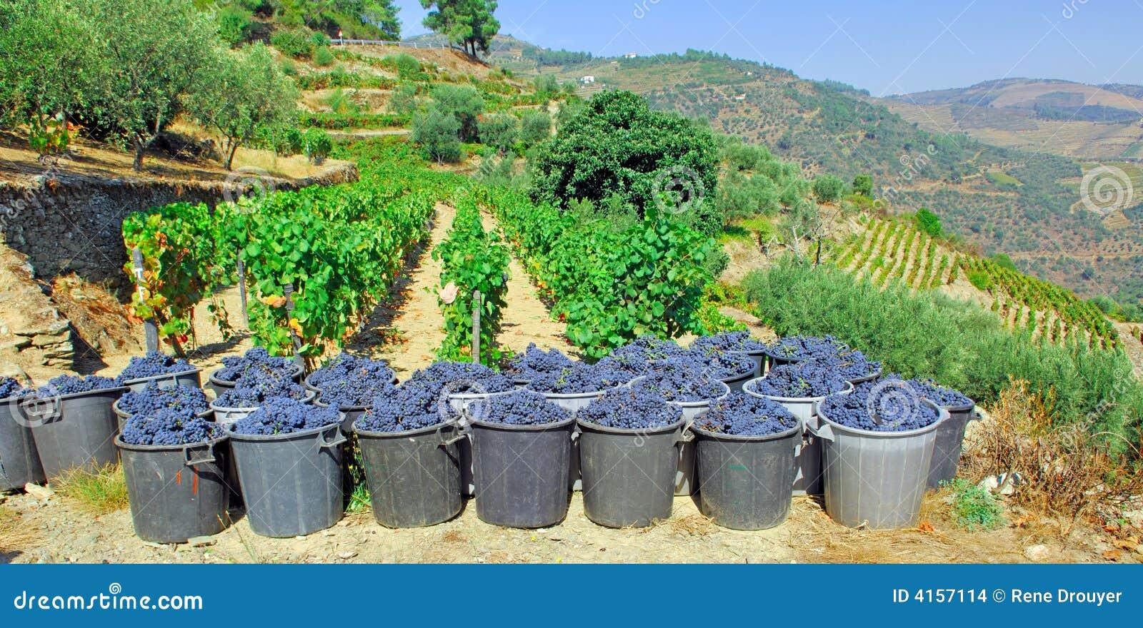 Le Portugal, vallée de Douro ; raisin moissonné