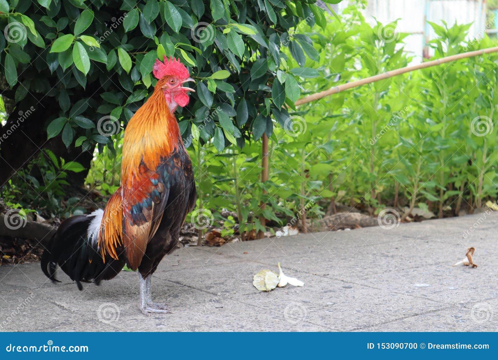 Le poulet masculin chante Il se tient droit et semble élégant