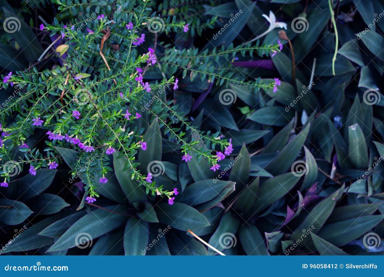 Le pourpre fleurit le hyssopifolia et le Rhoeo de Cuphea