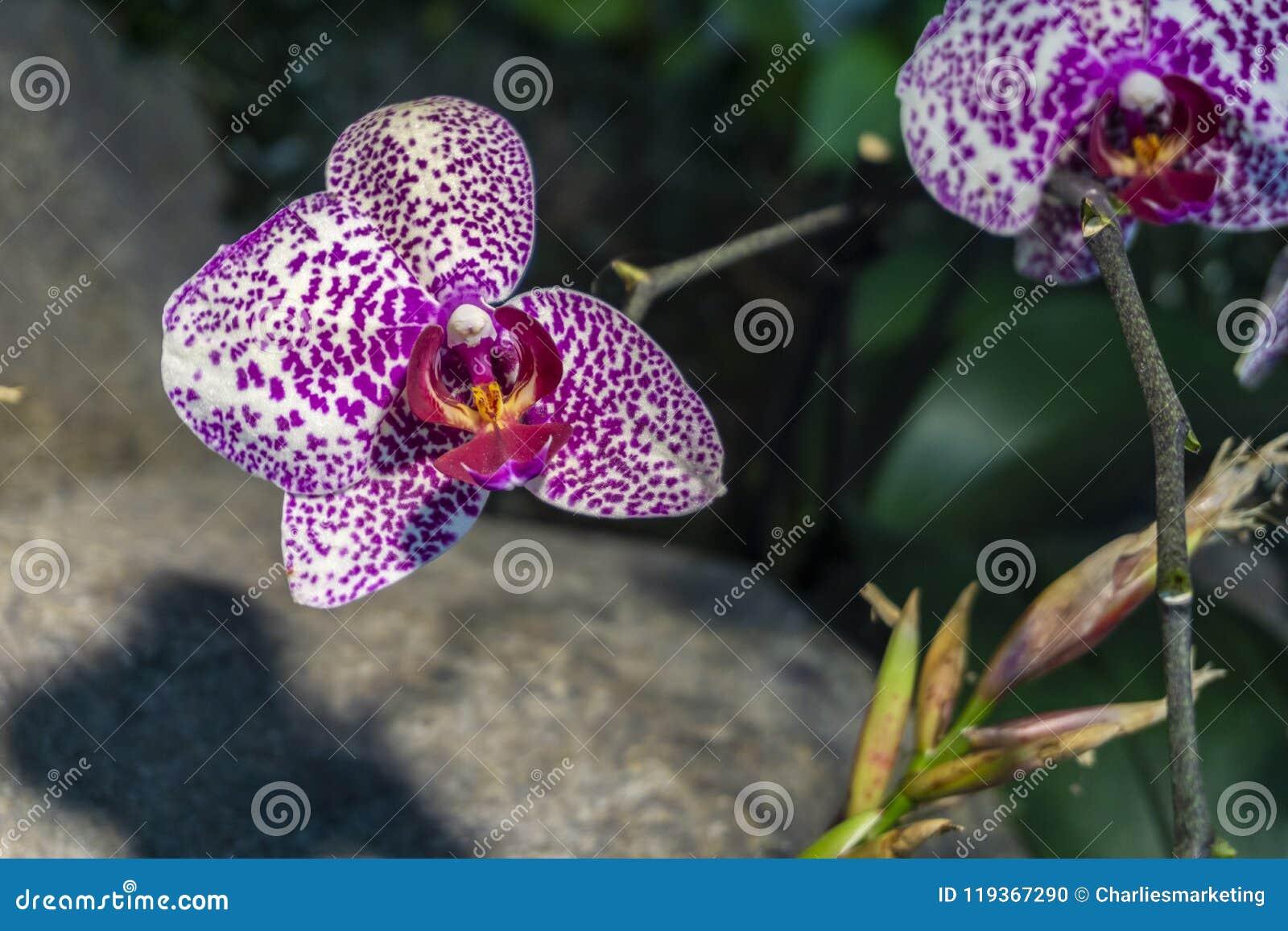 Le Pourpre A Repéré Des Orchidées Macro En Serre Chaude De ...