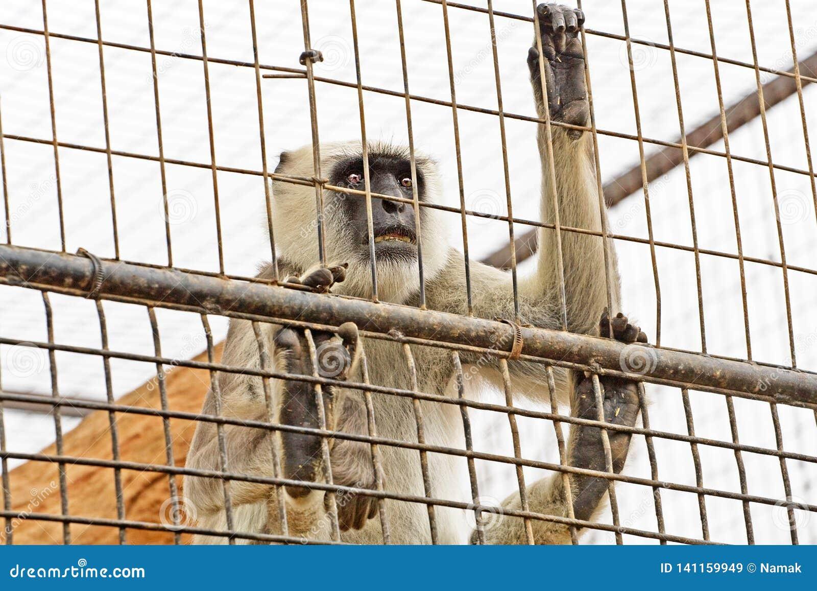 Le primat regarde hors de la cage