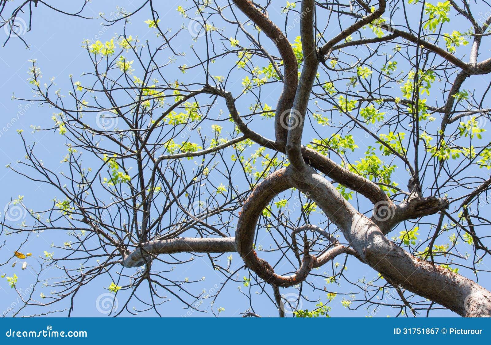 Le printemps se reflétant d arbre fictif de gombo à Key West
