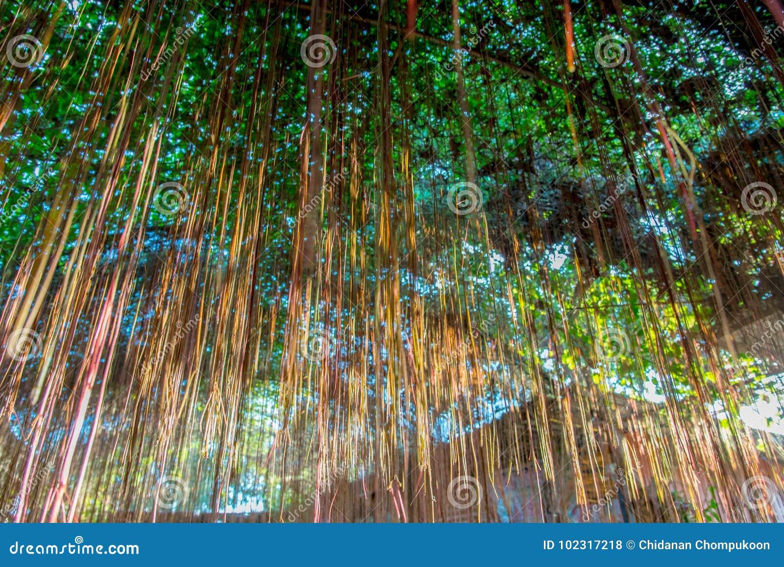Cura Del Ficus Benjamin le radici del ficus benjamina la corteccia cadono come