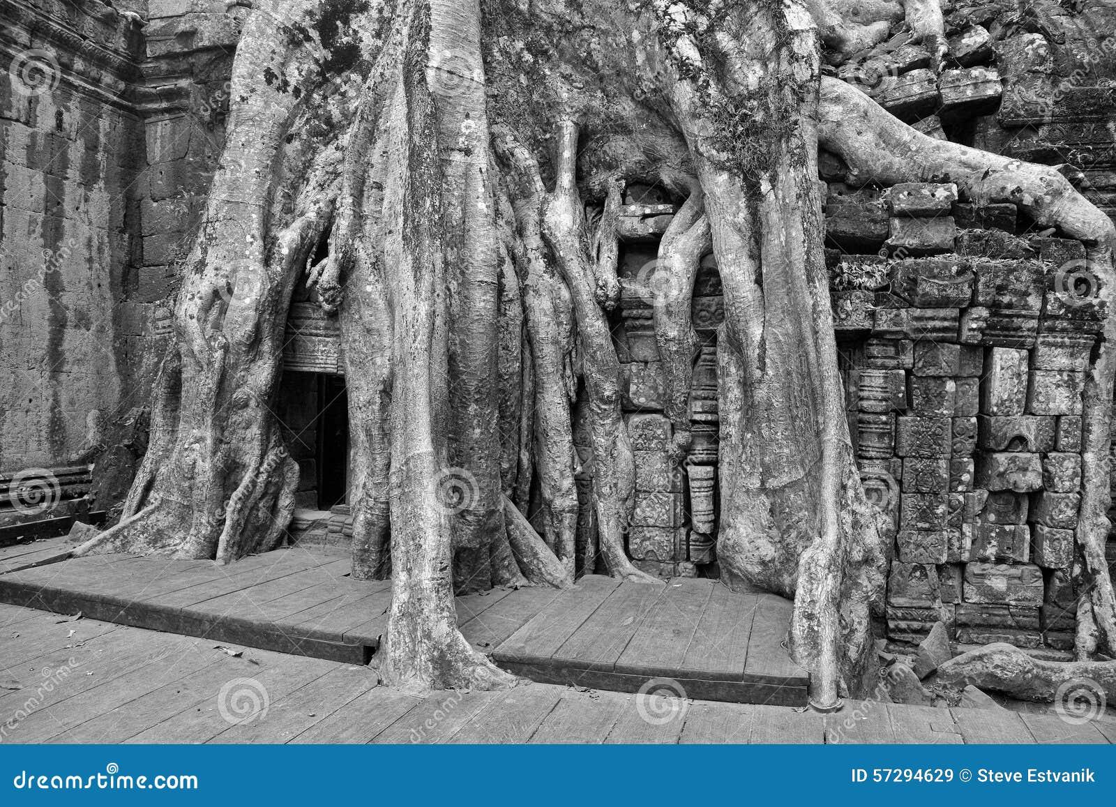 Acero Radici Invasive le radici enormi dell'albero inghiottono il tempio rovinato