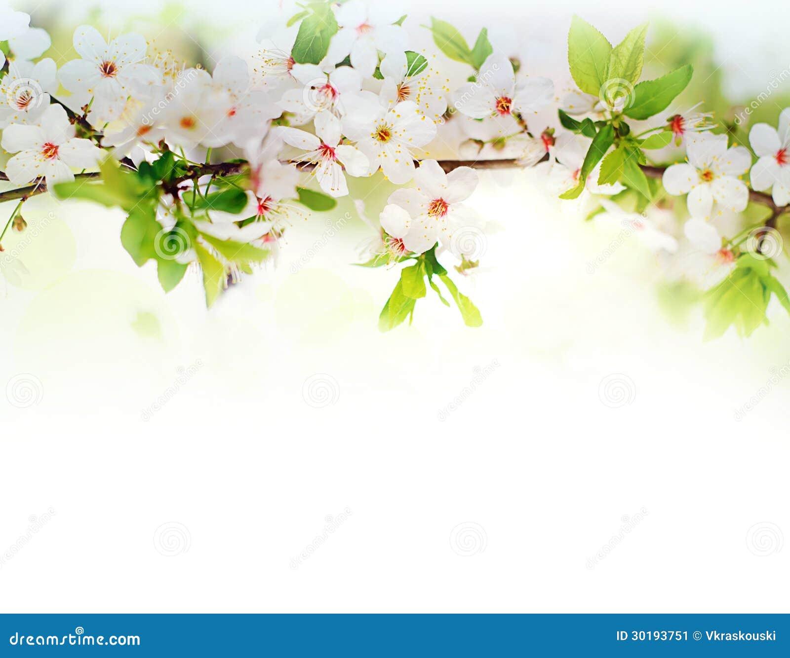 Fleurs blanches de ressort sur une branche d arbre