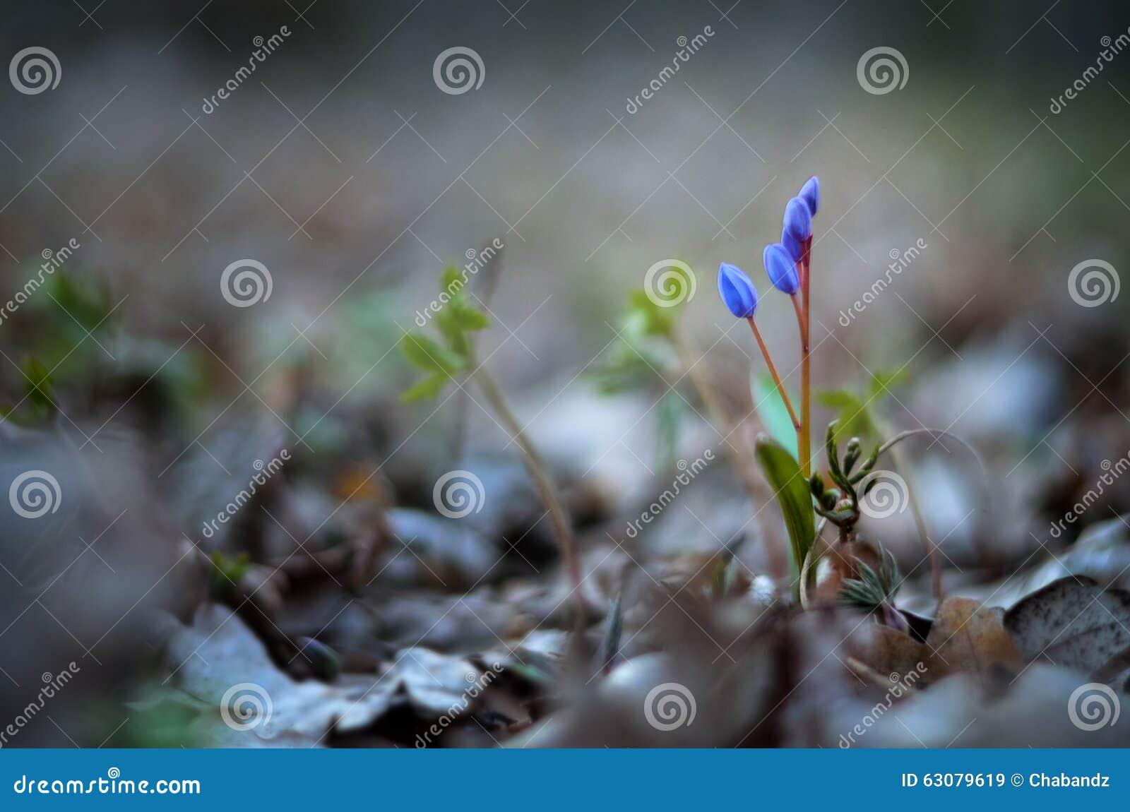 Download Le Ressort Bleu Fleurit Le Bifolia De Scilla Image stock - Image du bleu, forêt: 63079619