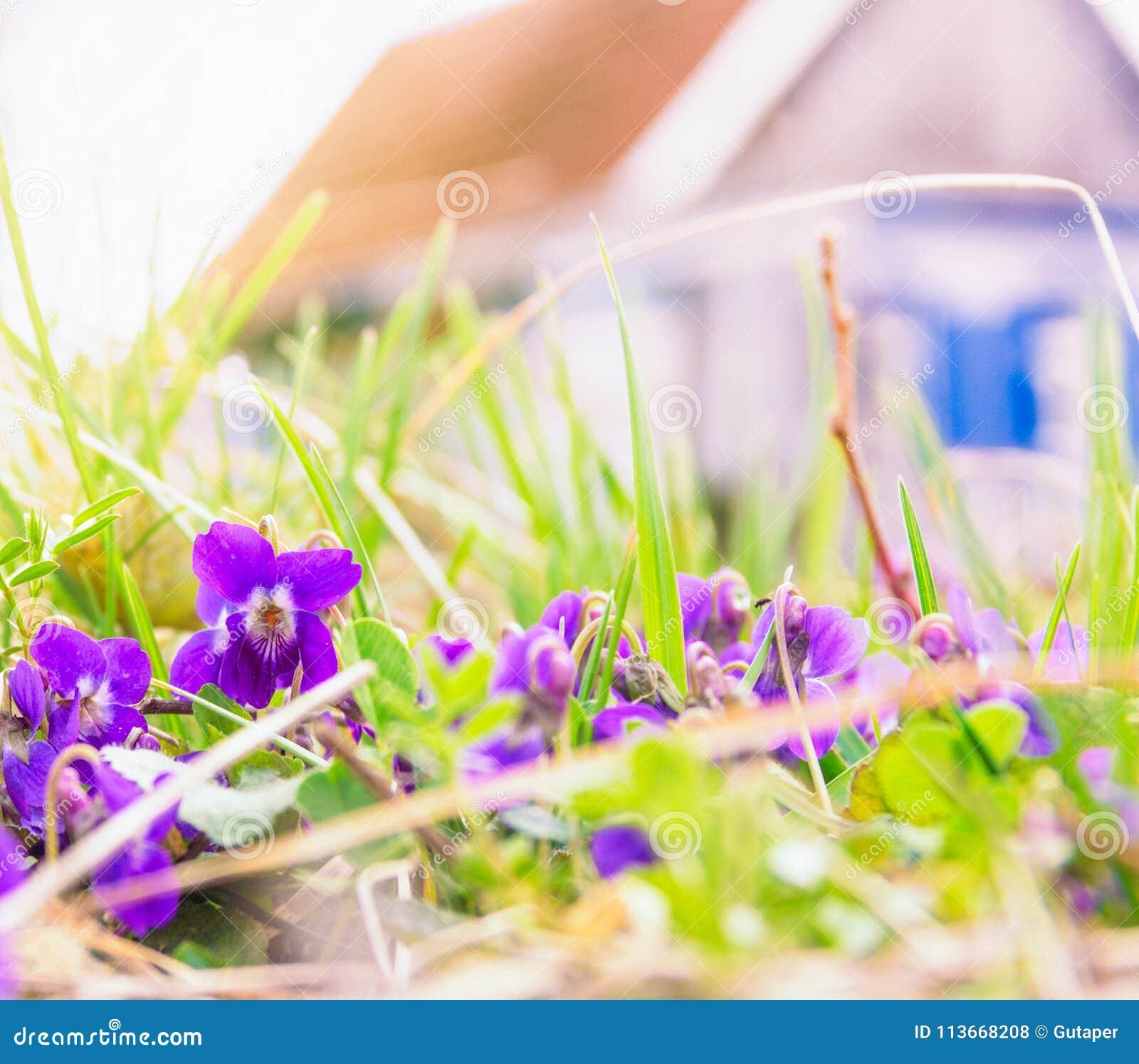 Le ressort fleurit des violettes dans l 39 herbe et la maison rustique photo stock image du - La maison rustique ...