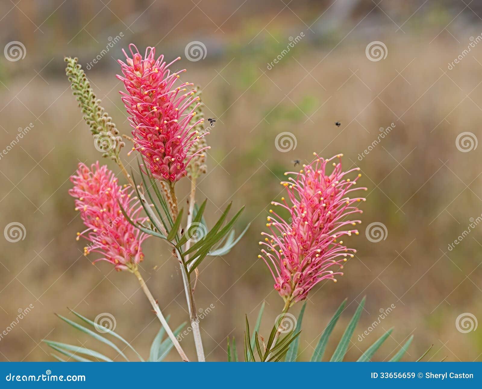 Le ressort fleurit le coucher du soleil côtier de Grevillea d Australien