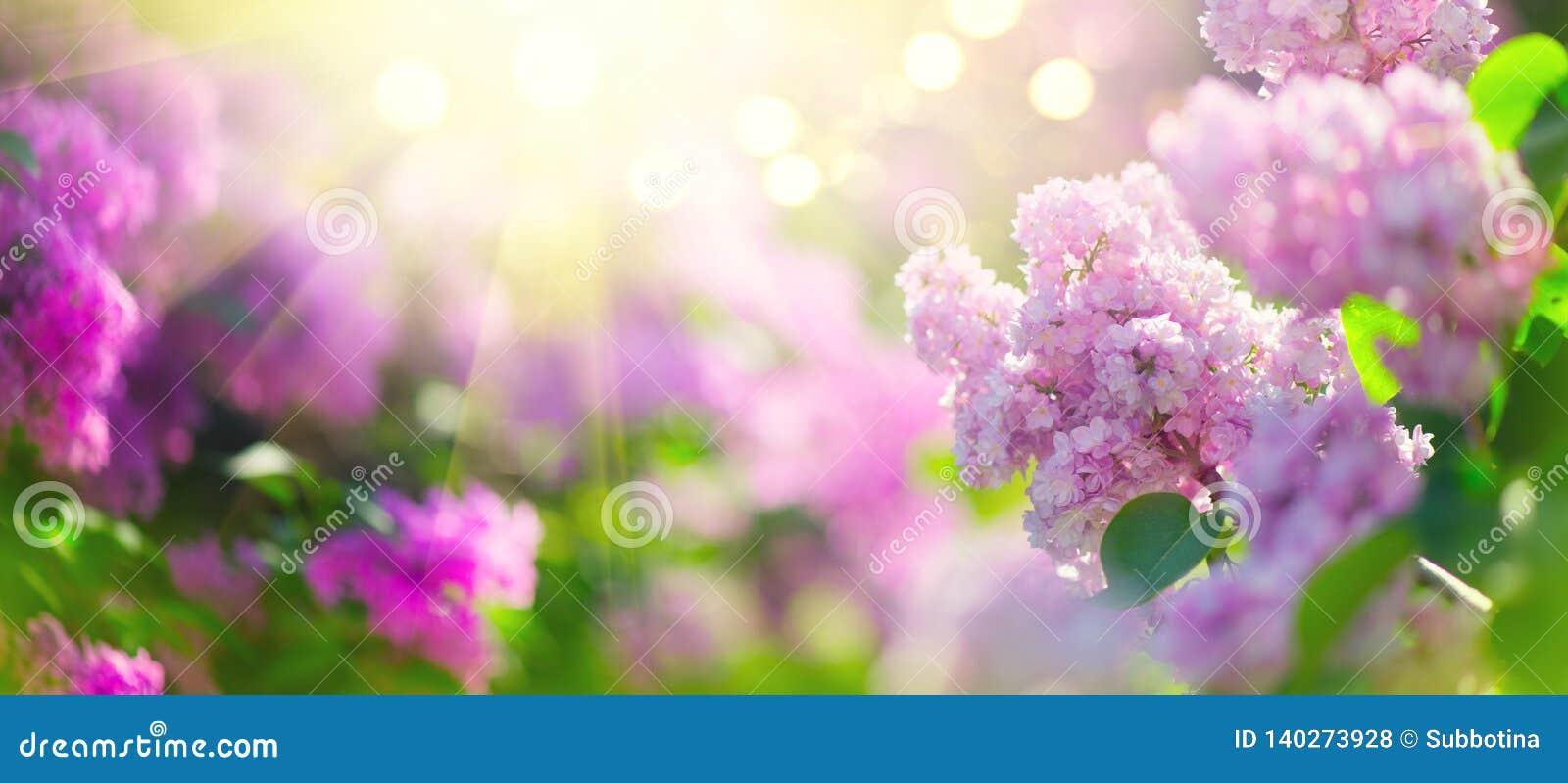 Le ressort lilas fleurit le fond violet de conception d art de groupe Fleurs lilas violettes de floraison