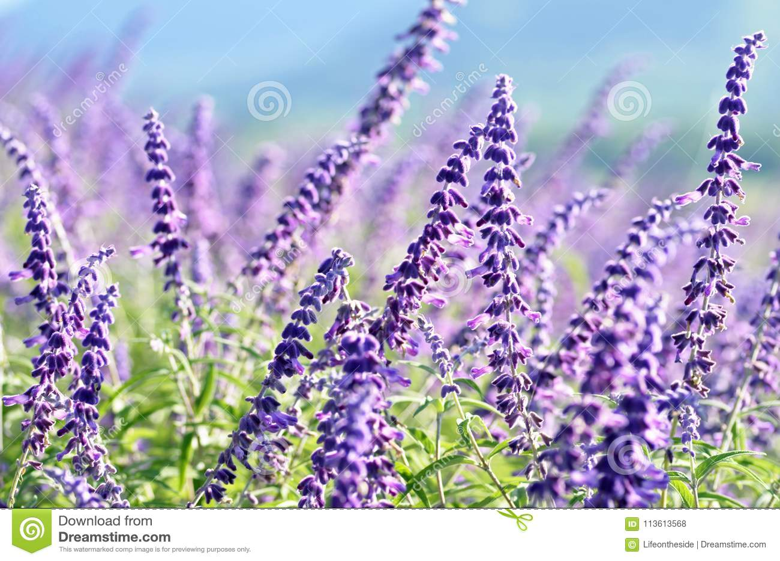 Le ressort violet de gisement de papier peint de fond fleurit le paysage rural
