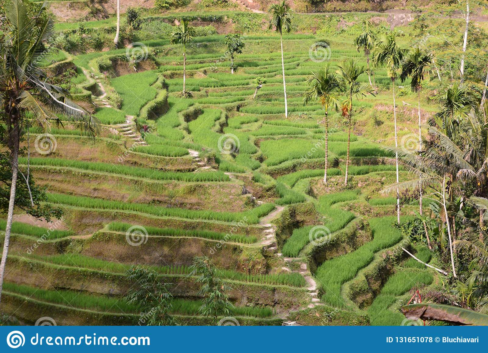Le Risaie A Terrazze In Tegallalang Reggenza Di Gianyar Bali