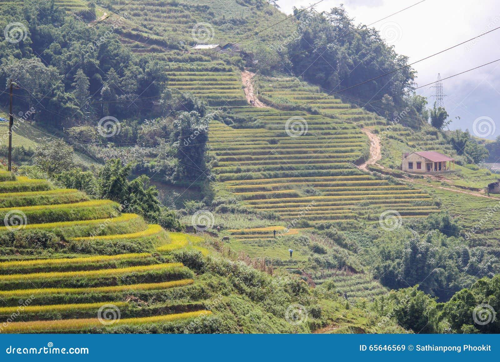Le riz met en place sur en terrasse de Sapa, secteur de Sapa