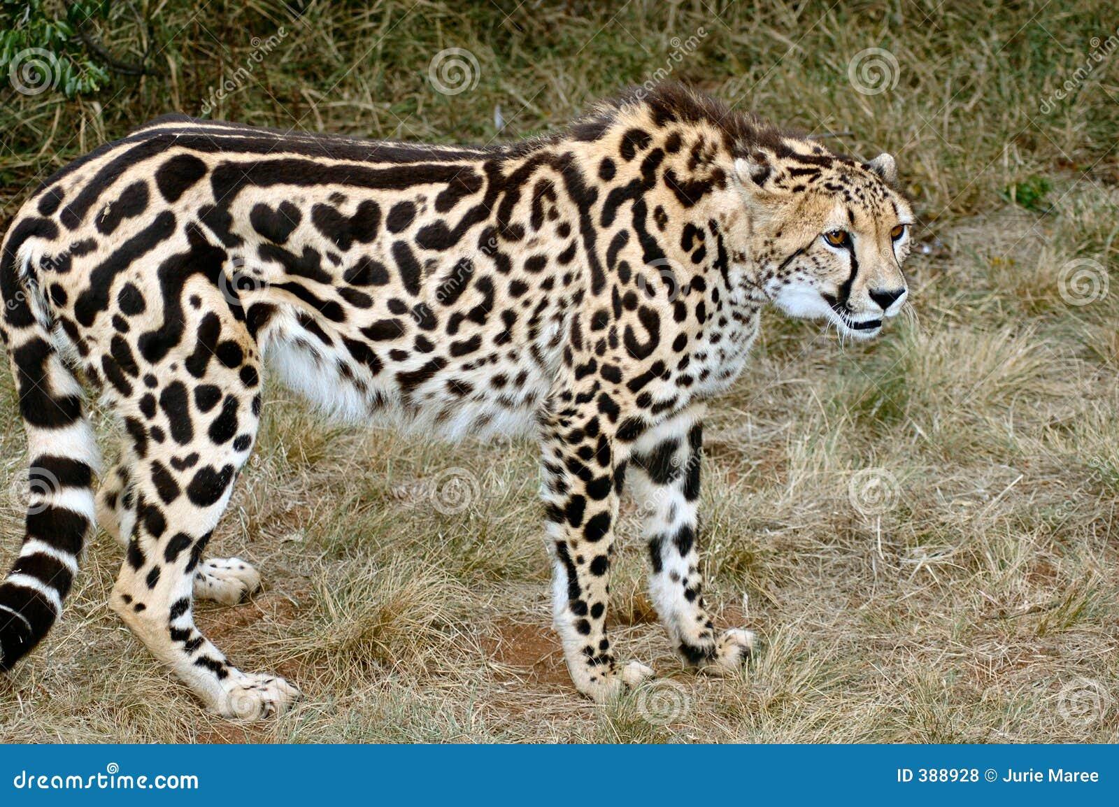 Le Roi Cheetah.