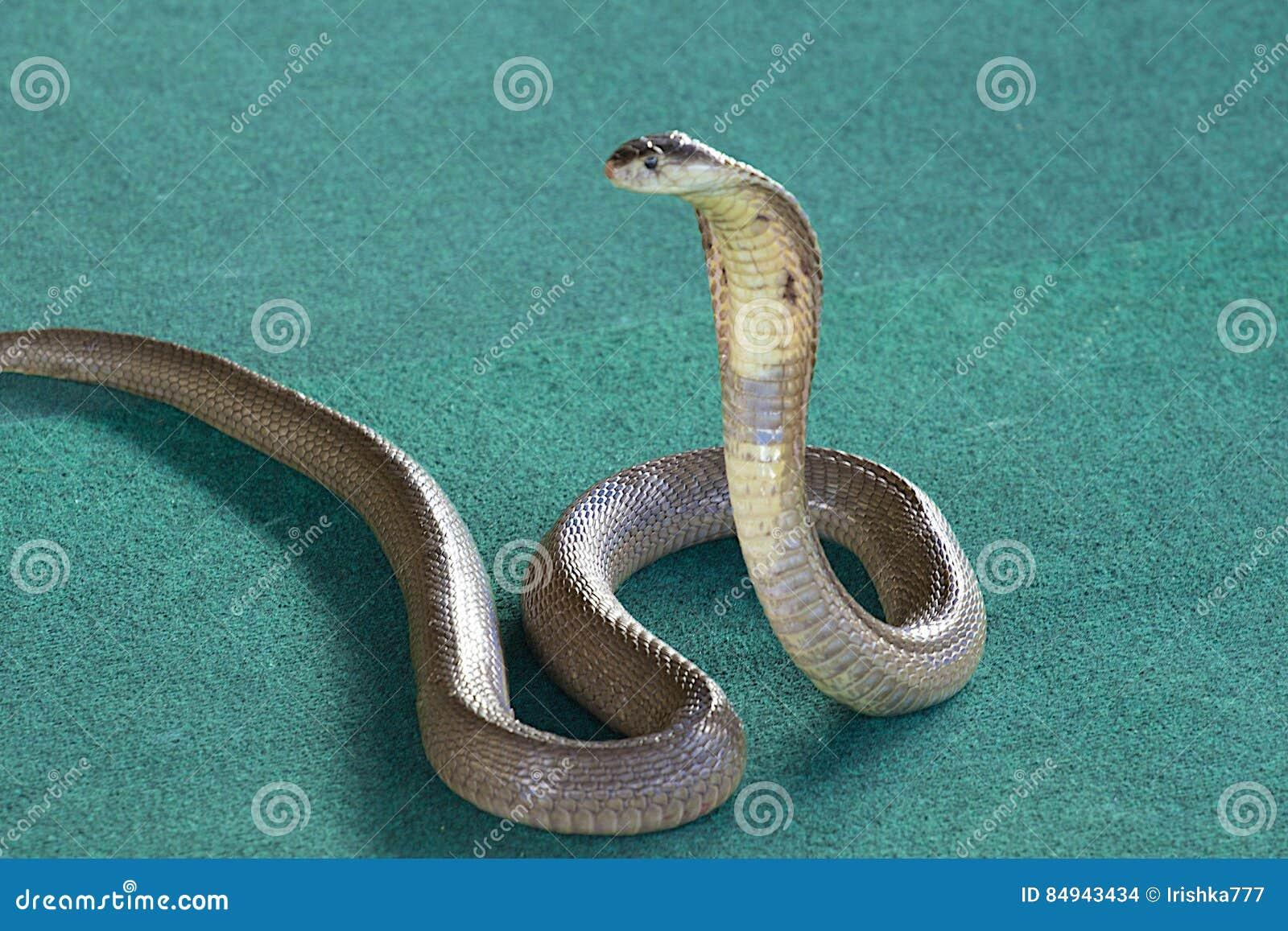 Le Roi Cobra