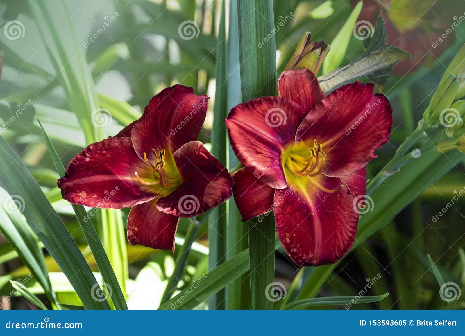 Le Roi de luxe Royale de bord de la route de Hemerocallis de Daylily de fleur dans le jardin Fleur comestible Les Daylilies sont