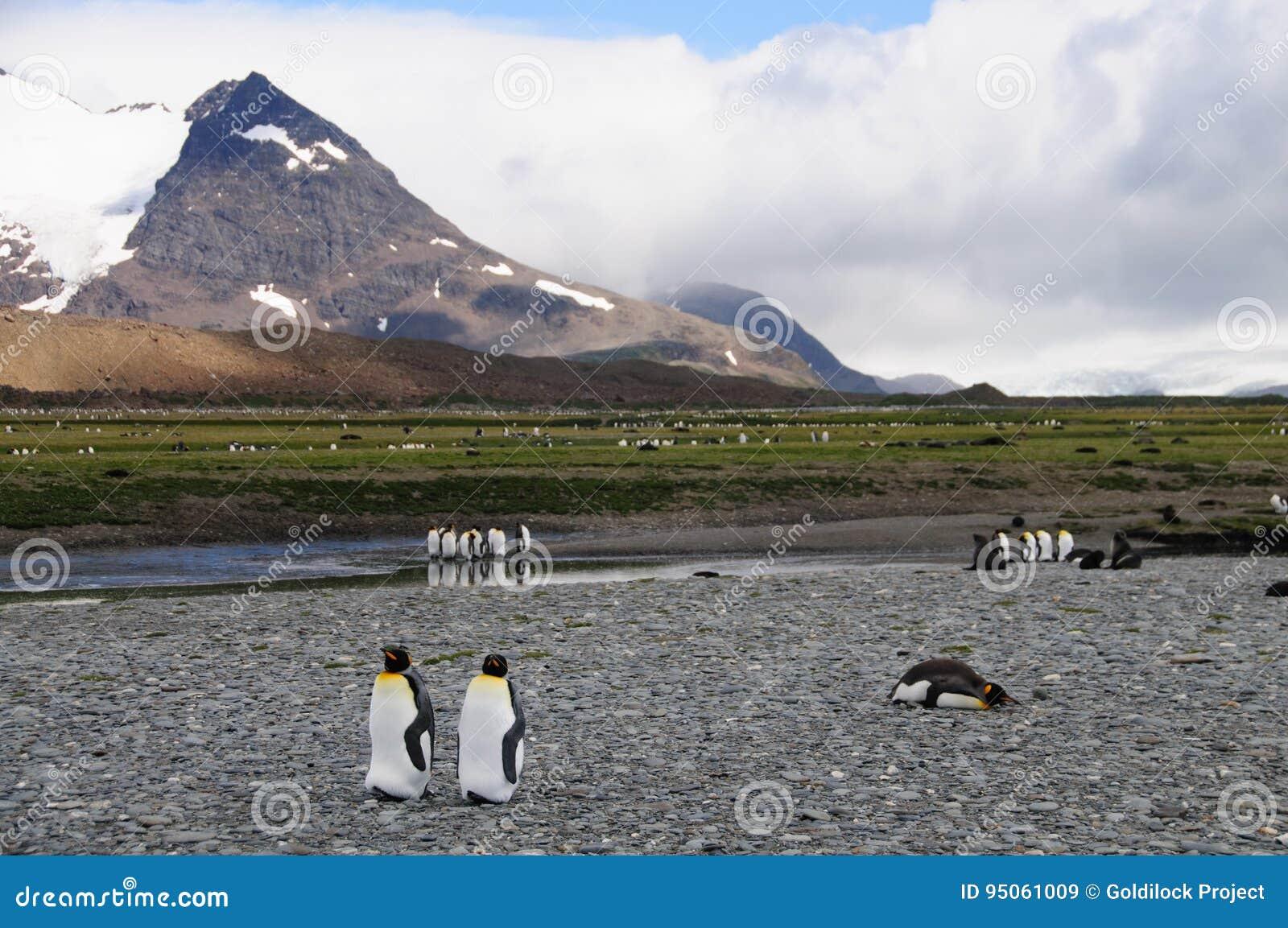 Le Roi Penguins sur des plaines de Salisbury