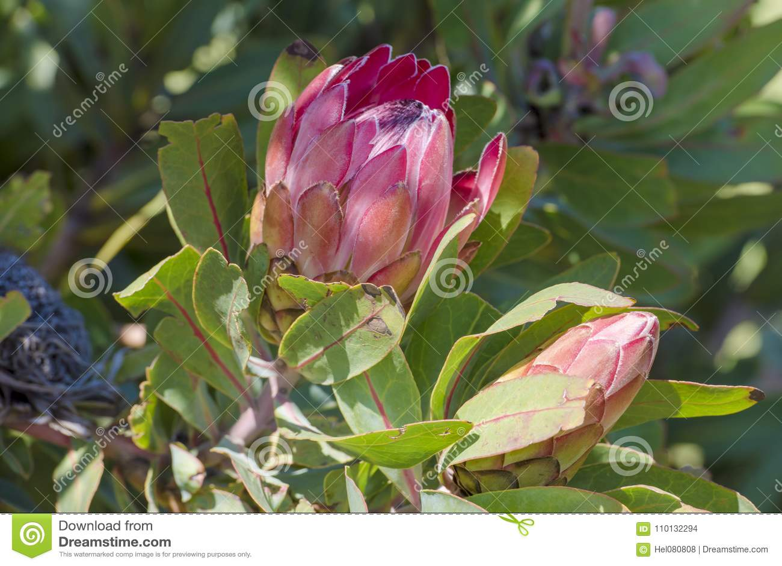 Le Roi Protea Fleur Nationale De L Afrique Du Sud Photo Stock