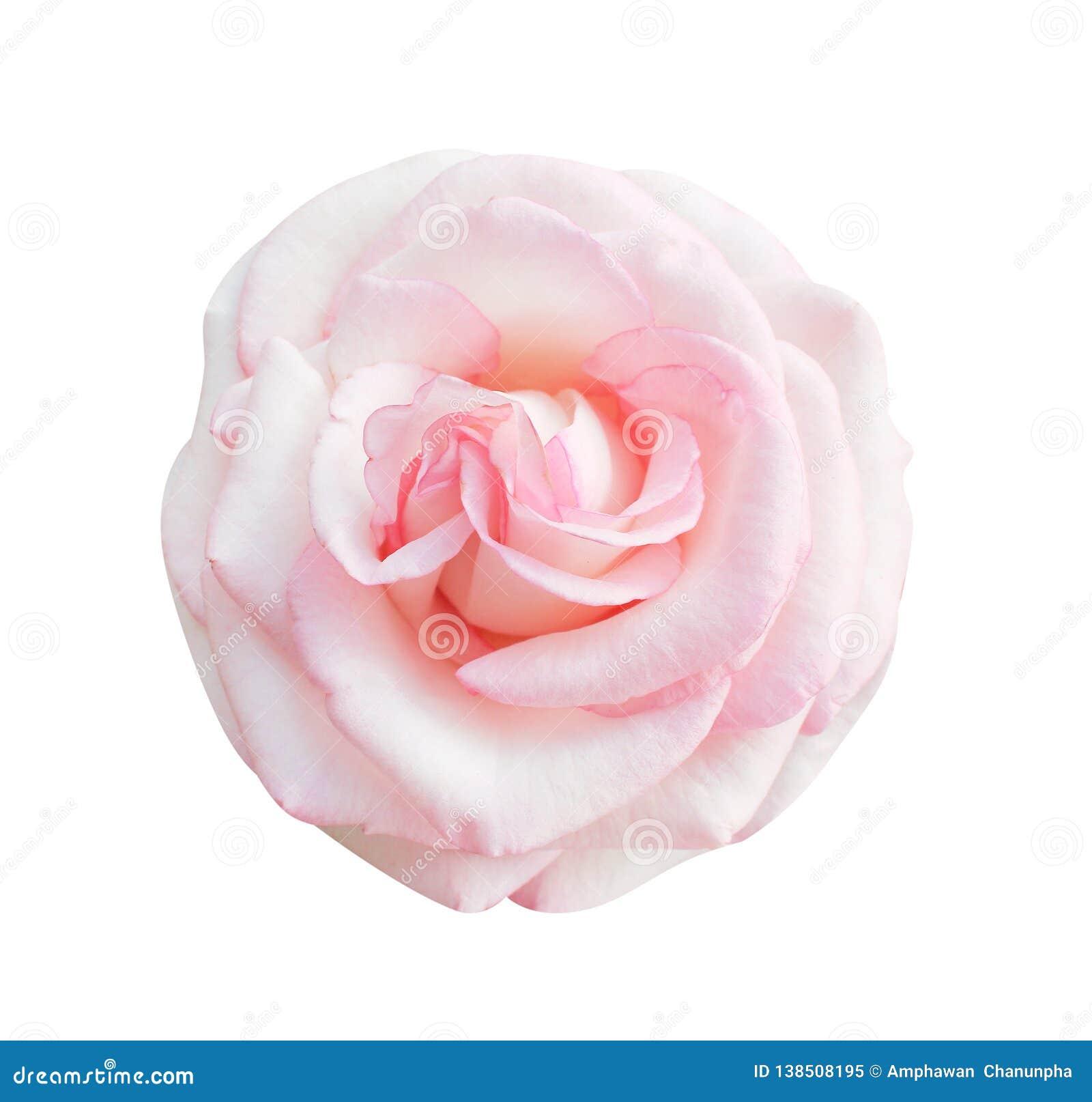 Le rose coloré a monté vue supérieure de floraison de fleurs d isolement sur le fond blanc, beaux modèles naturels