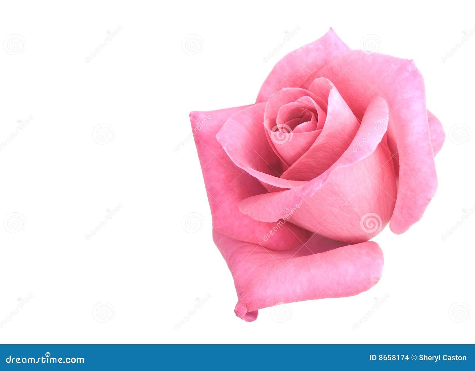 Le rose de fleur de fleur a monté