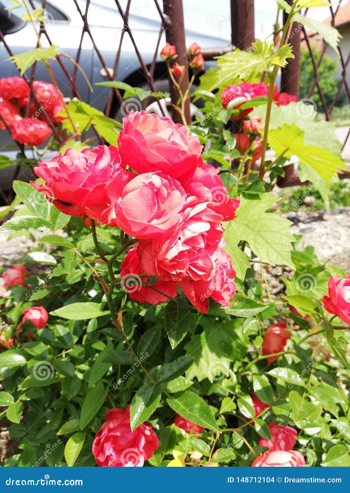 Le rose del fiore germogliano nartural