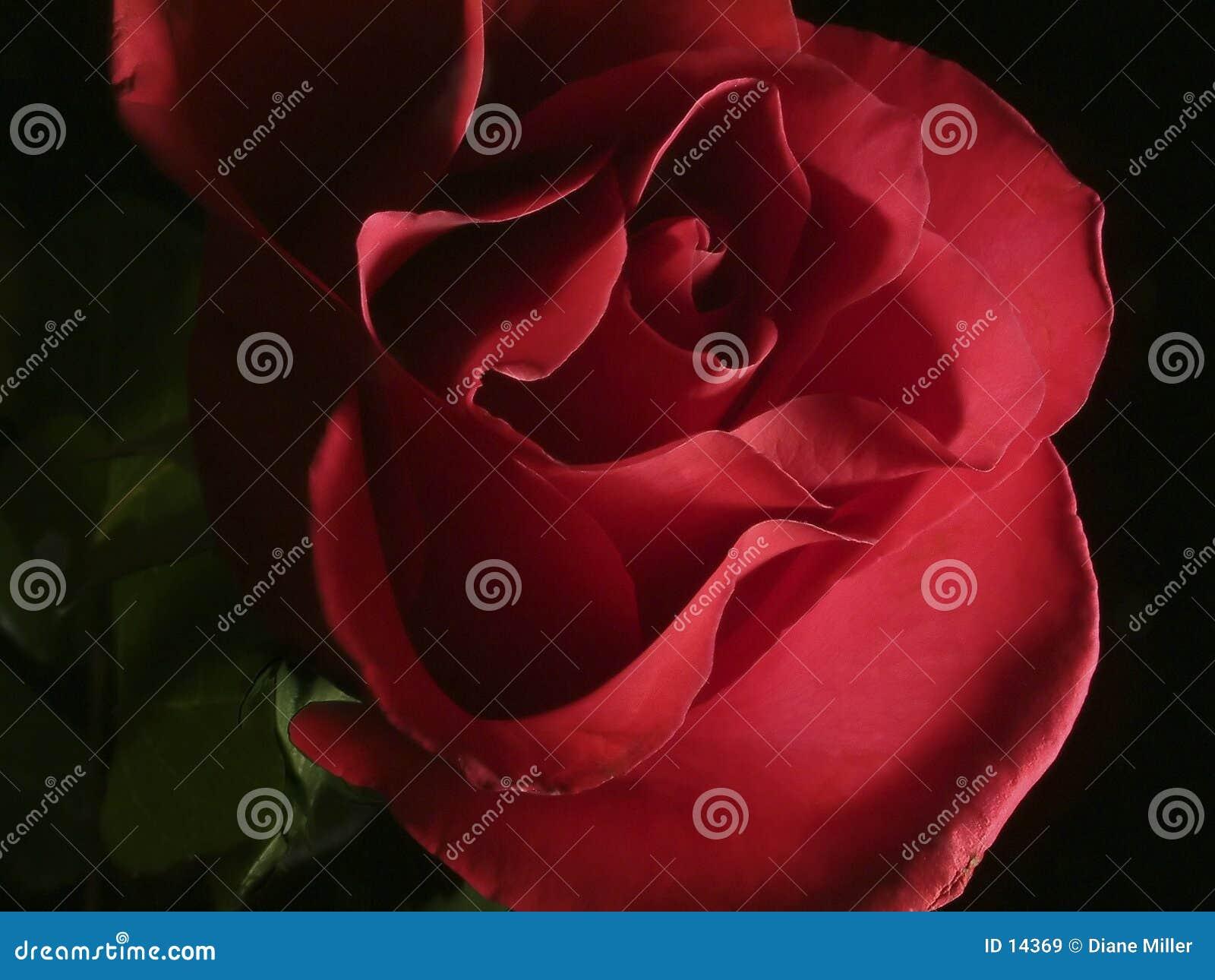 Le rose foncé a monté