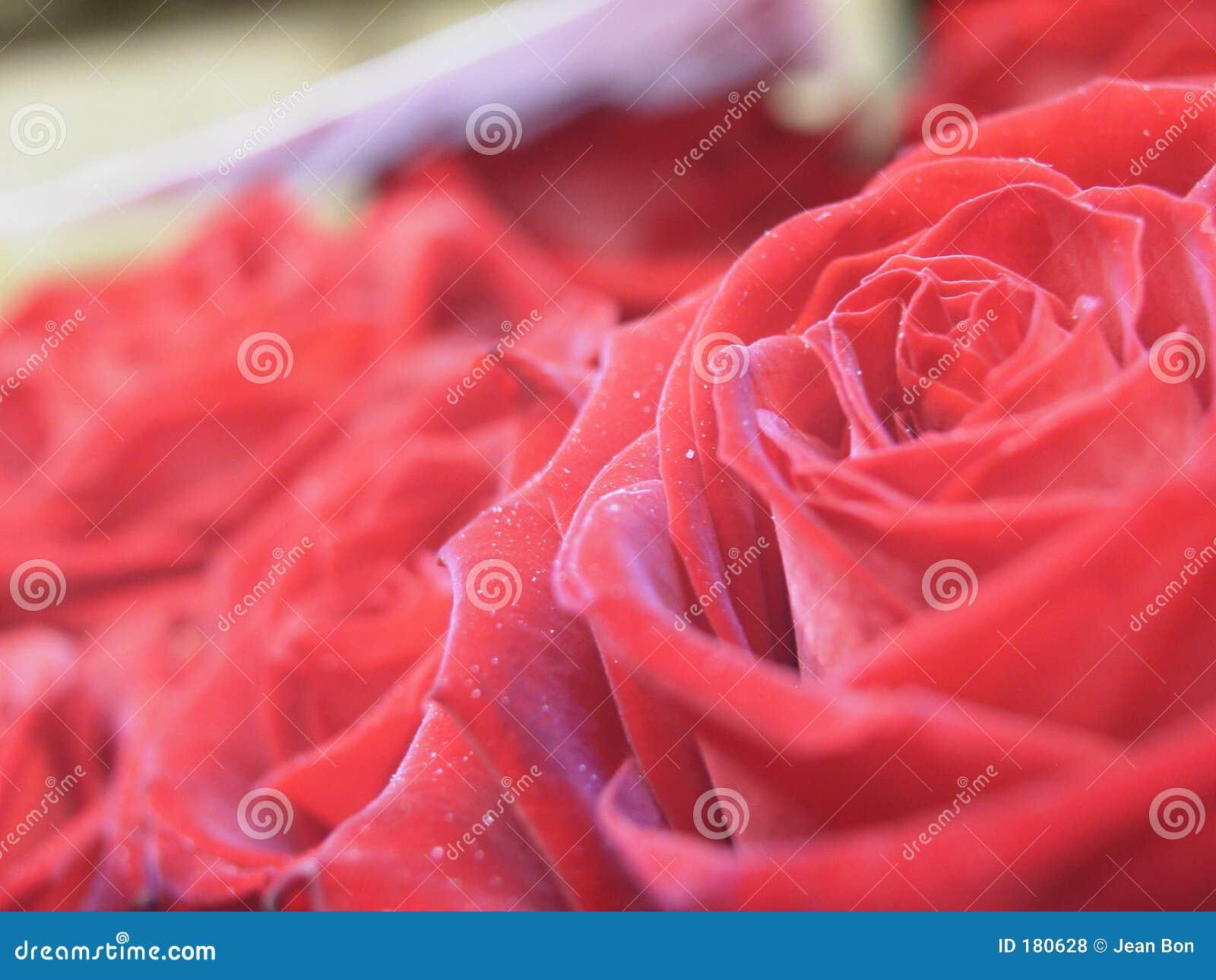 Le rose ingrandicono