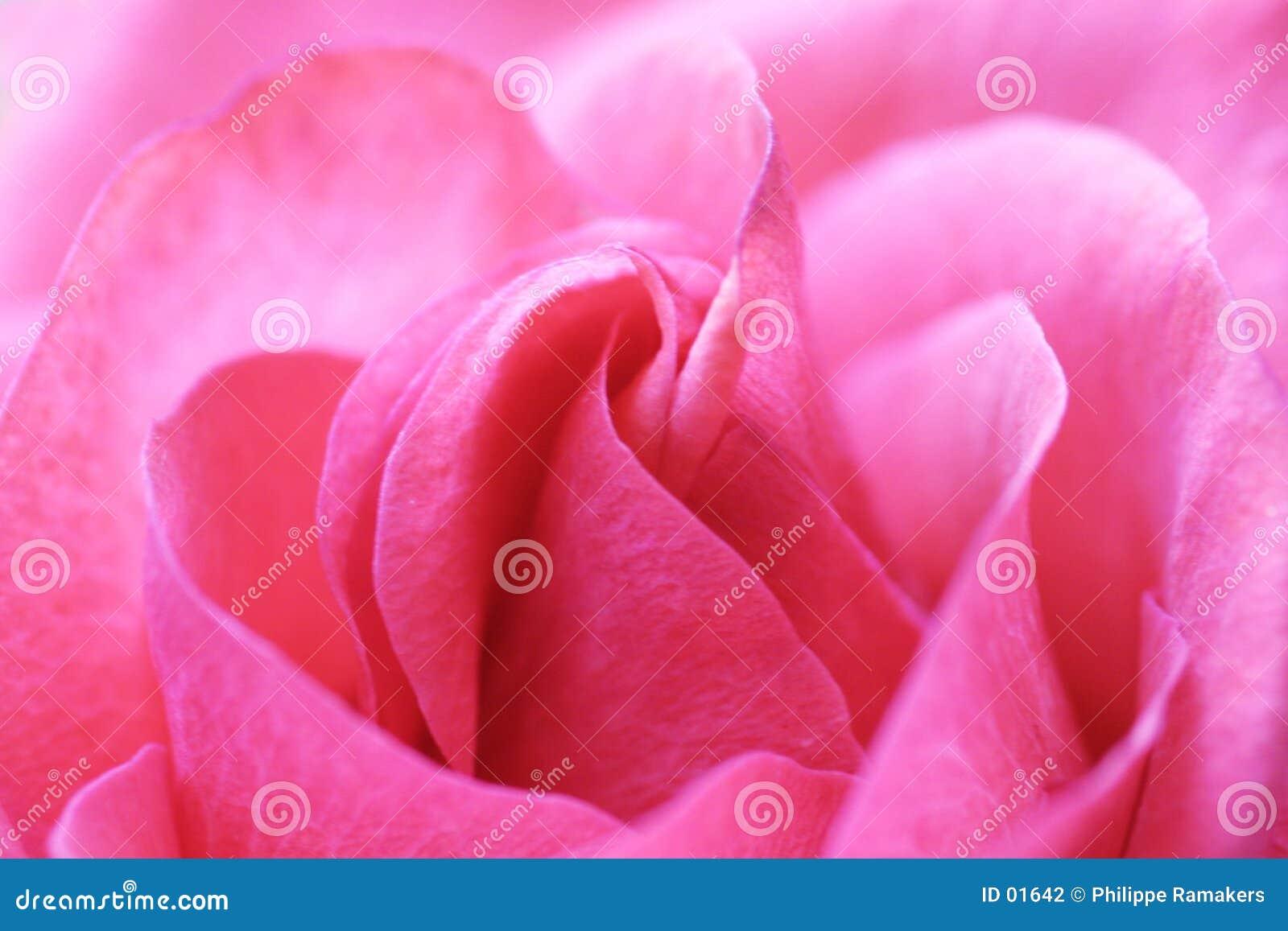 Le rose a monté