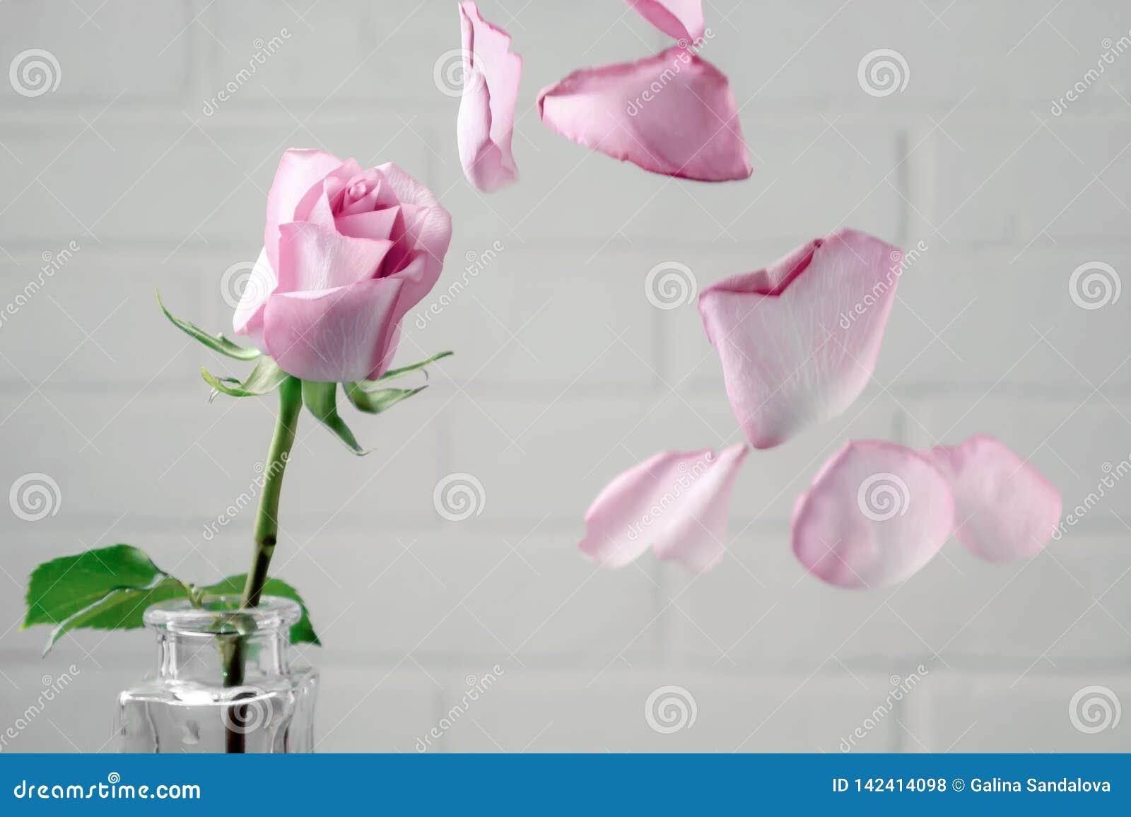 Le rose a monté dans un vase avec les pétales en baisse dans la perspective d un mur blanc Tendresse, fragilité, solitude, concep