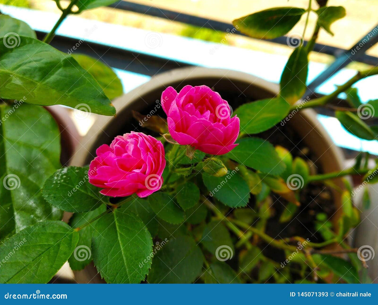 Le rose a mont?