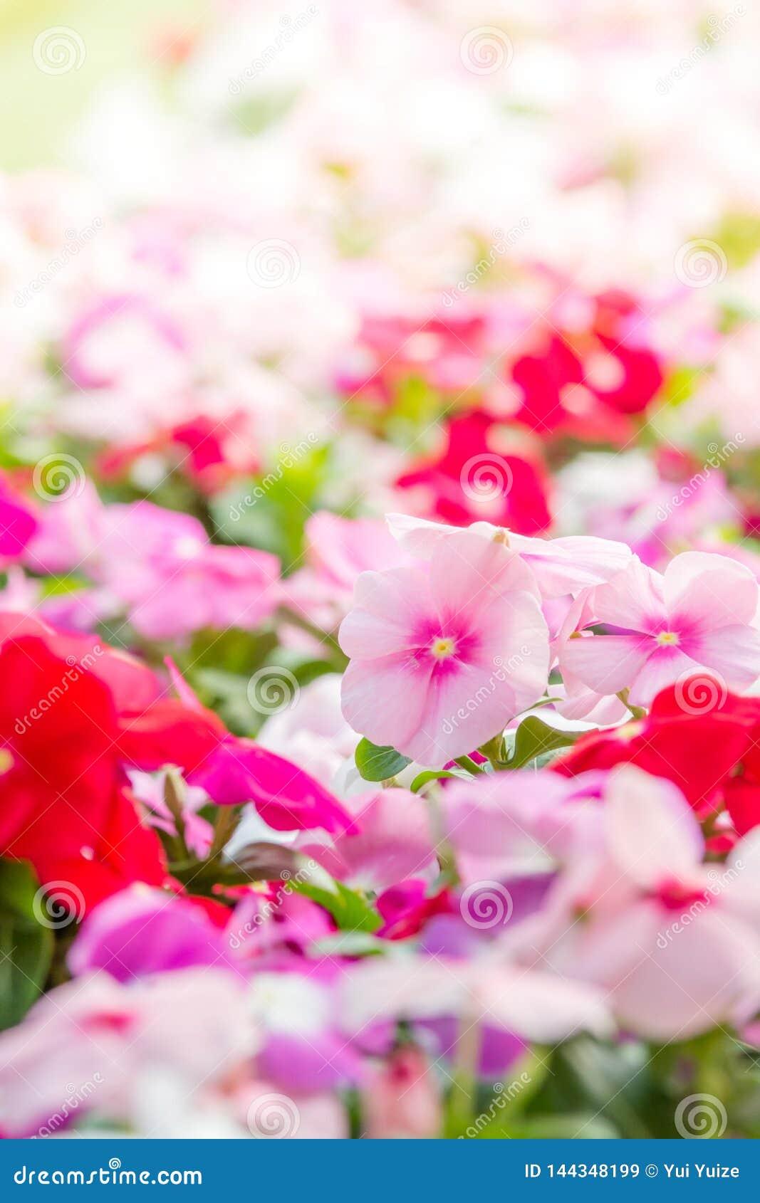 Le rosea de Vinca fleurit la fleur dans le jardin