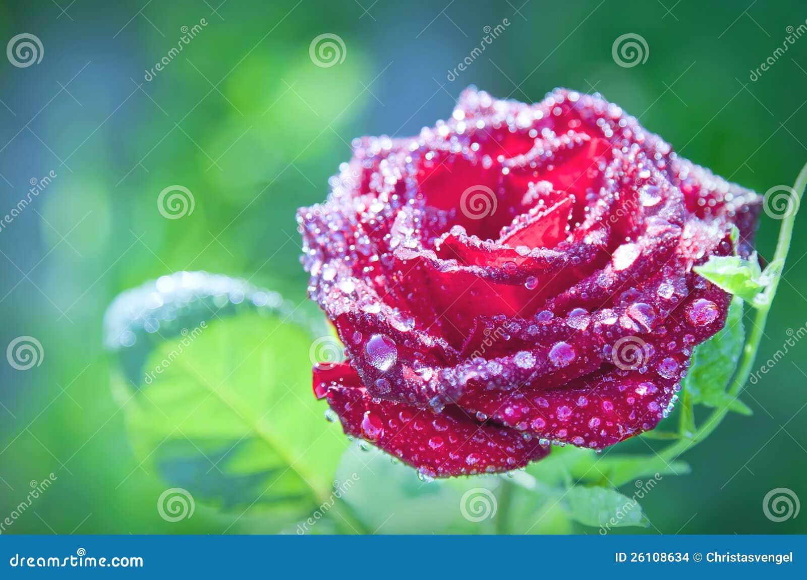 Le rouge de fleur a monté avec des baisses de rosée