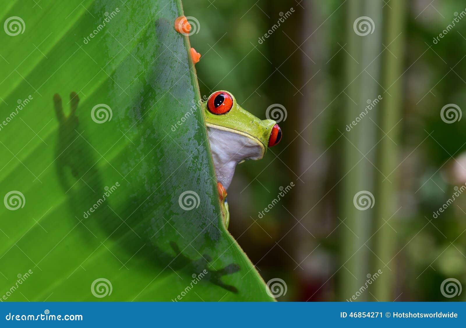 Le rouge a observé la grenouille d arbre verte, corcovado, Costa Rica