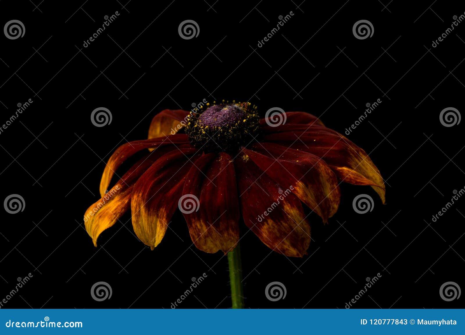 Le Rudbeckia jaune fleurit le plan rapproché
