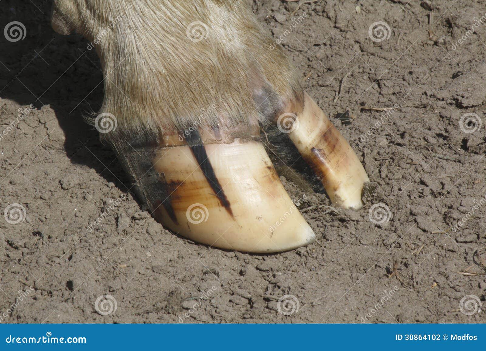 Le sabot de la vache