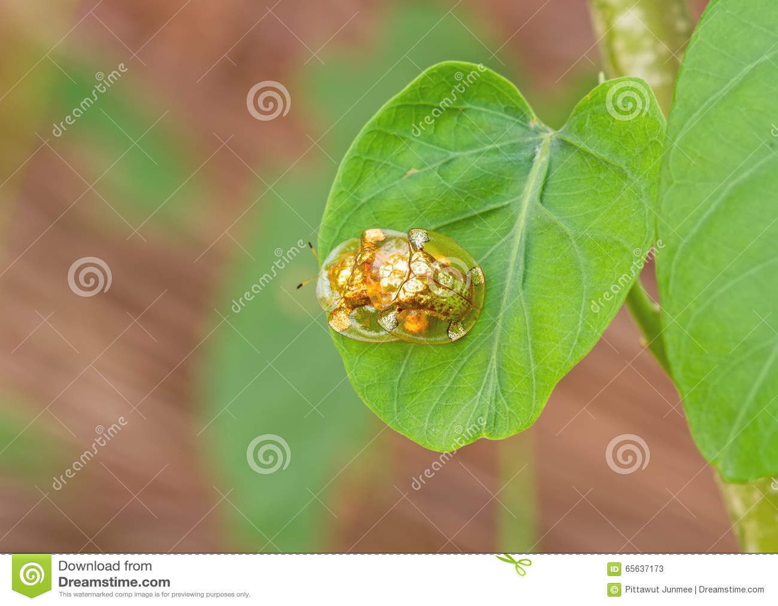 Le scarabée d or de tortue hybrident sur la feuille verte à la scène de nuit