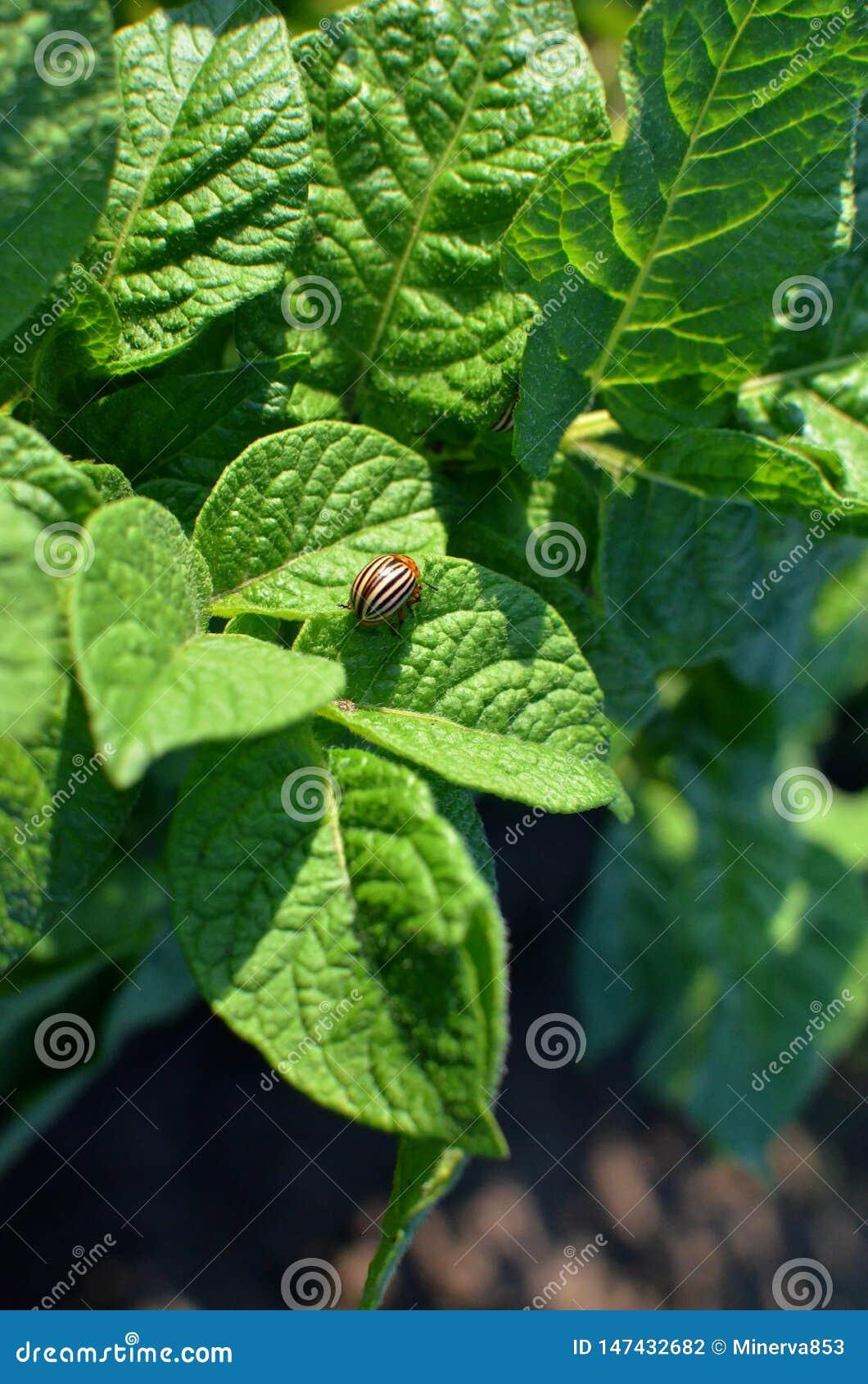 Le scarab?e de pomme de terre du Colorado mange les feuilles vertes