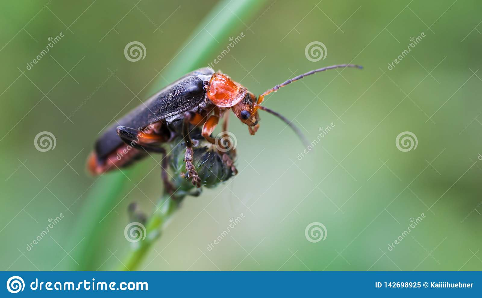Le scarabée longicorne monte l apparence d astuce de doigt