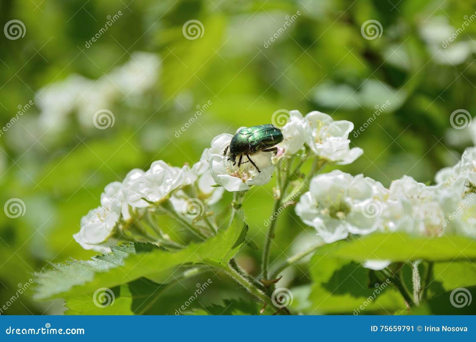le scarabée rose vert (aurata de cetonia) sur la fleur d'aubépine