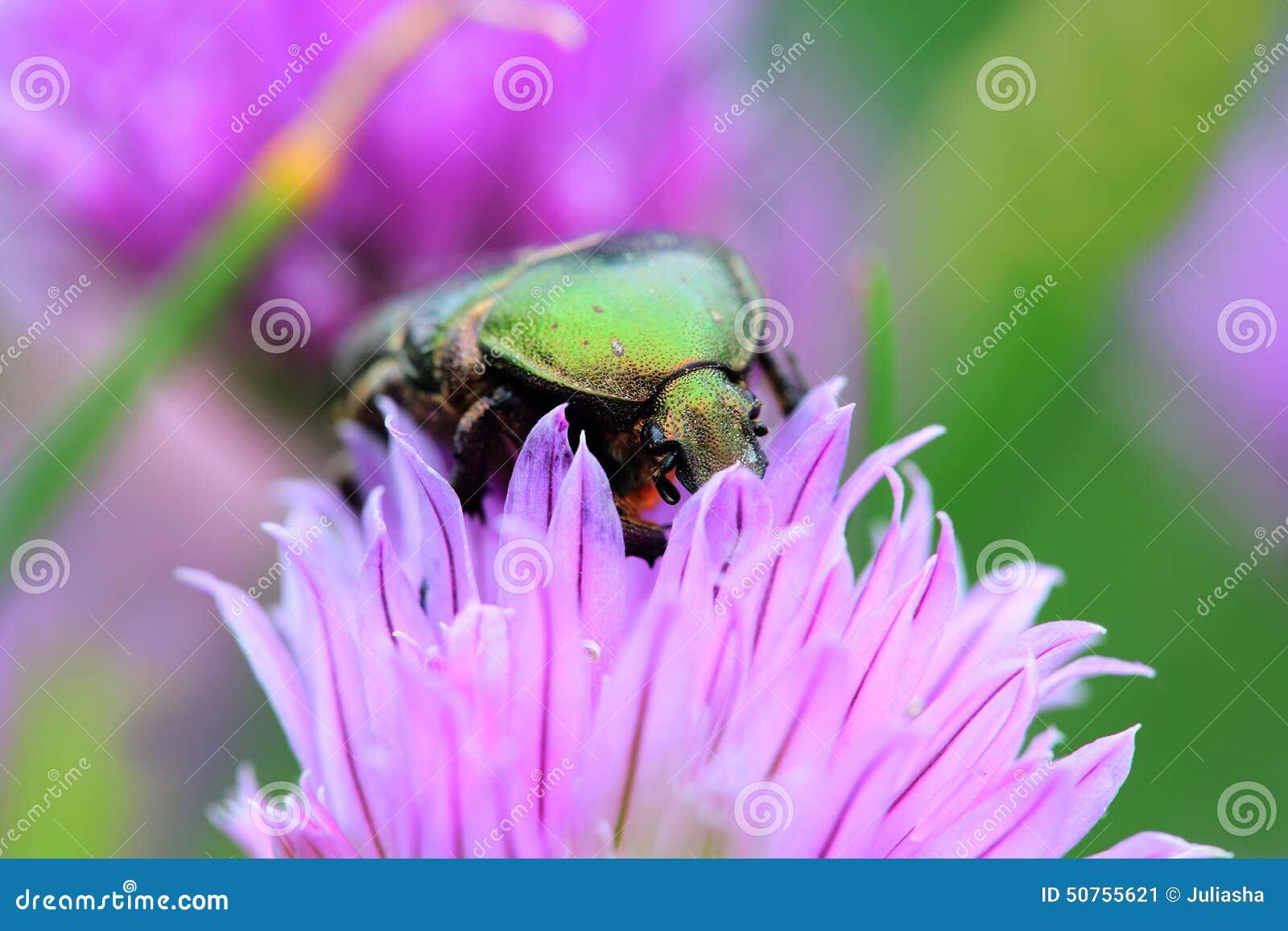 le scarabée rose vert sur des fleurs de ciboulette photo stock