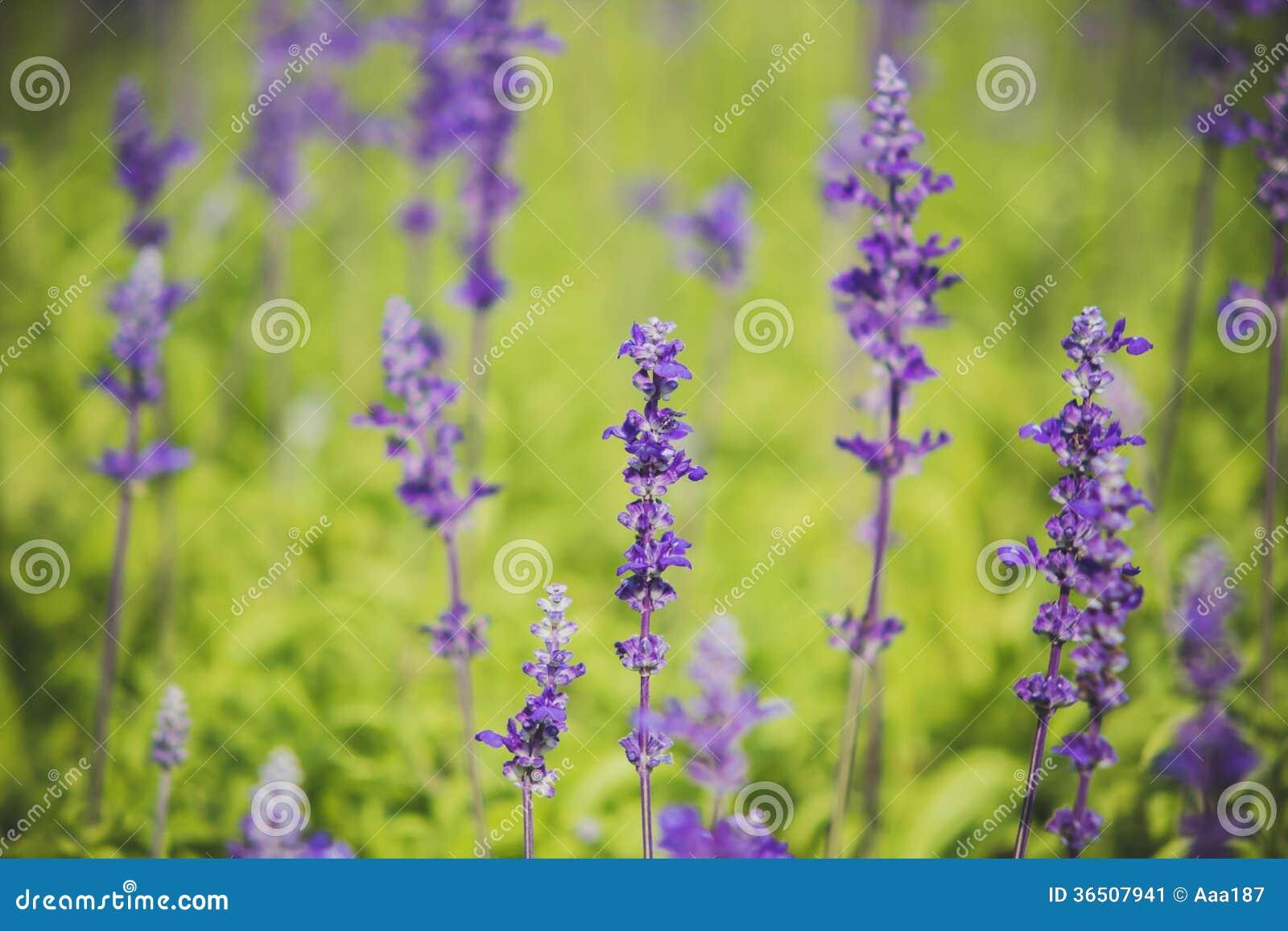 Le sclarea de Salvia fleurit l herbe