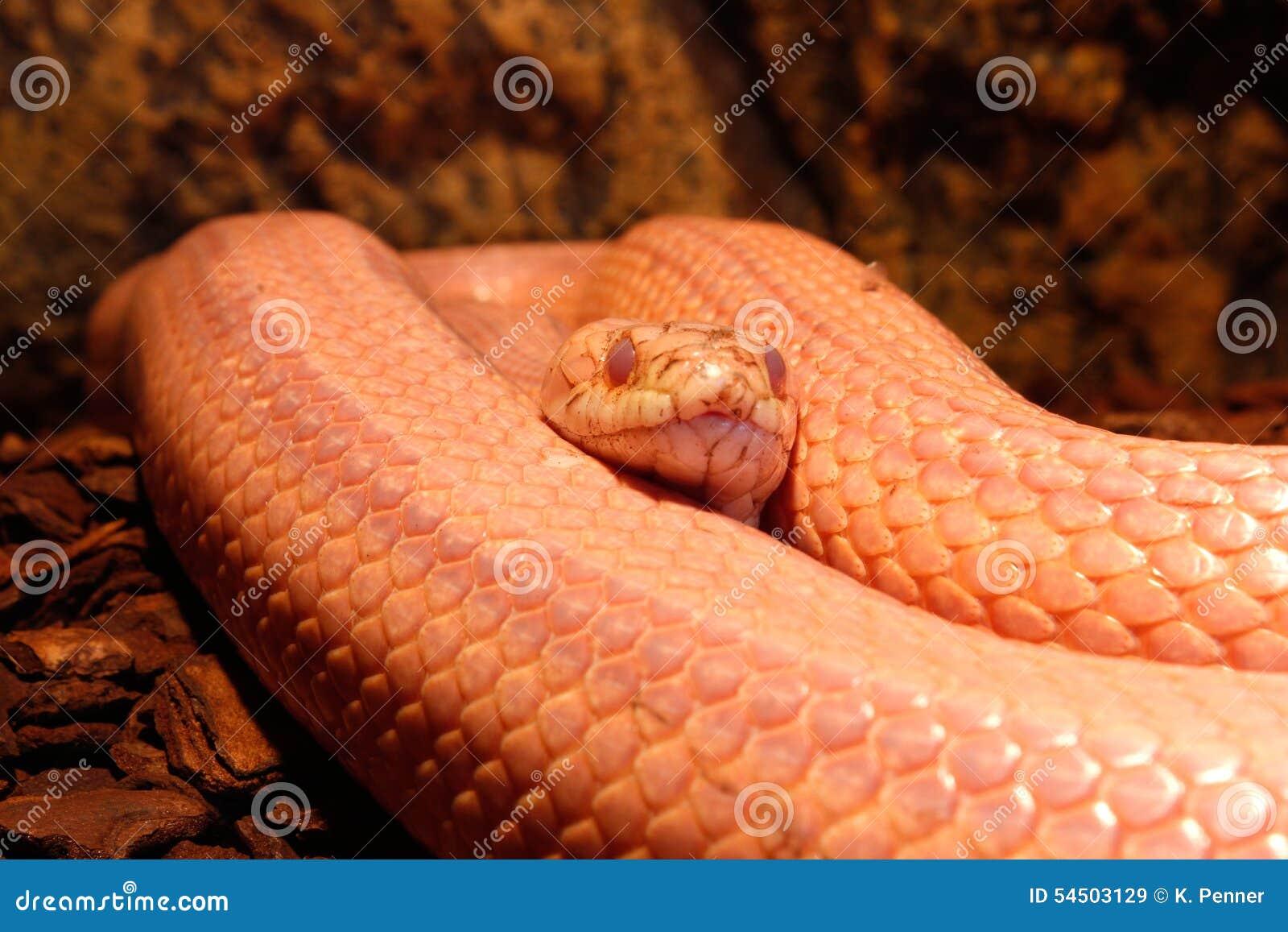 Le serpent d herbe mue - Ringelnatter