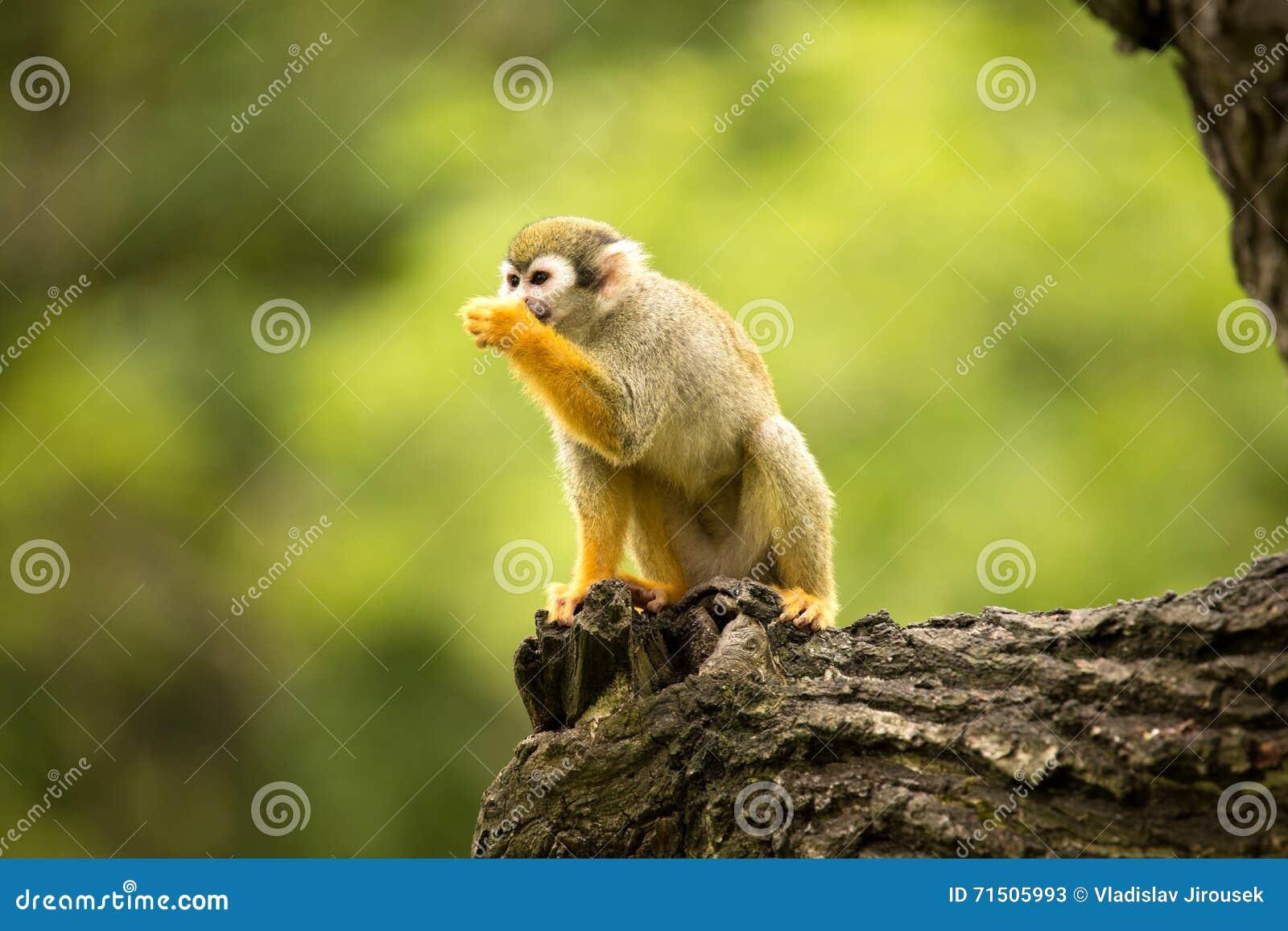 Le singe-écureuil commun, sciureus de Saimiri est primat très mobile