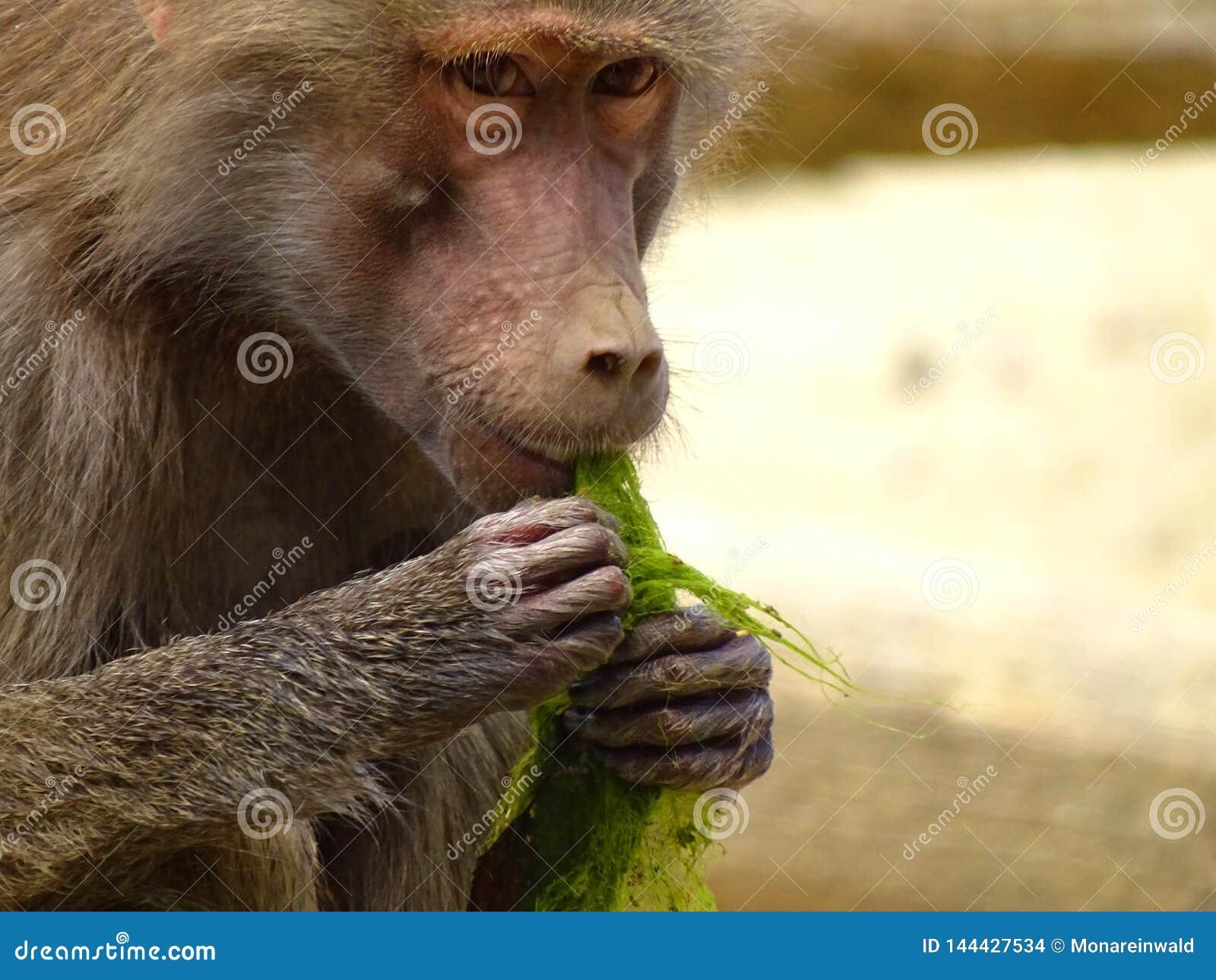 Le singe mange l algue dans le zoo à Augsbourg
