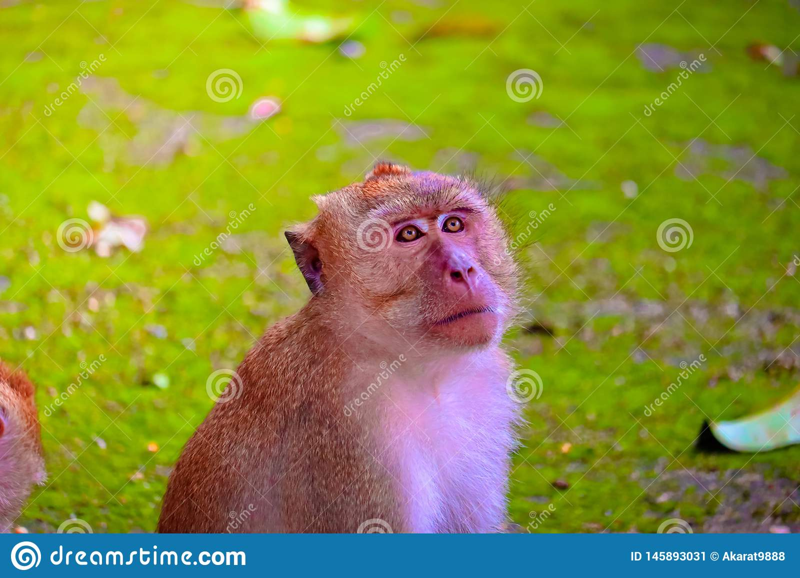 Le singe mange une banane