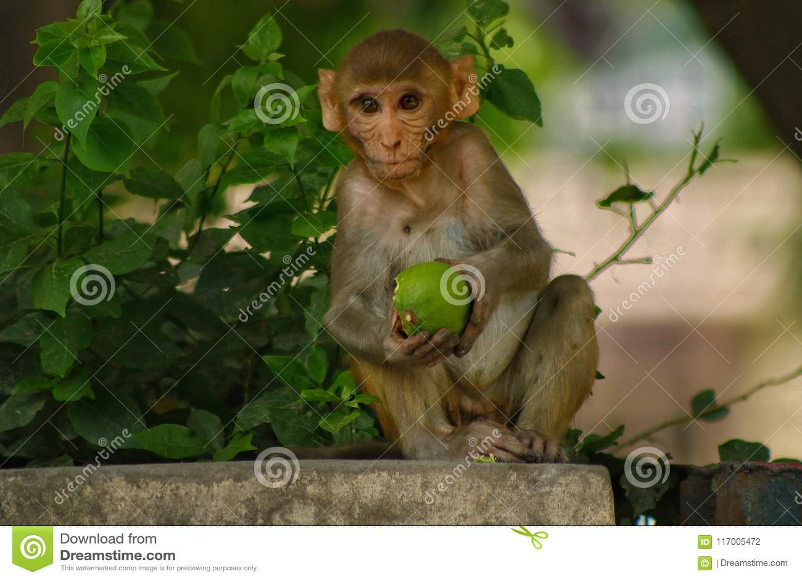 Le singe sauvage indien
