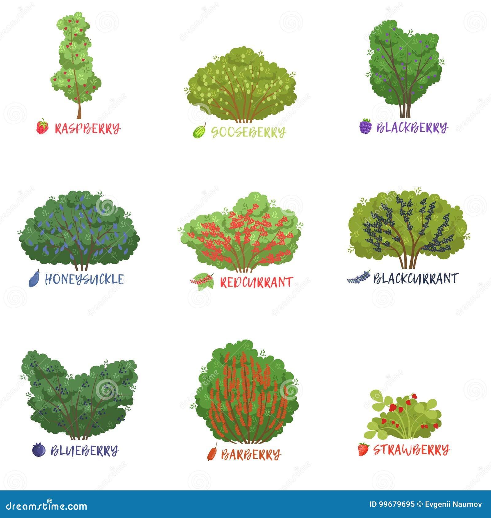 Le specie differenti degli arbusti della bacca del for Nomi di arbusti e cespugli