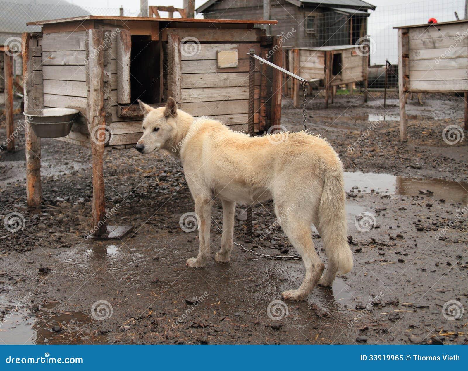 Spitsbergen Dog Breed