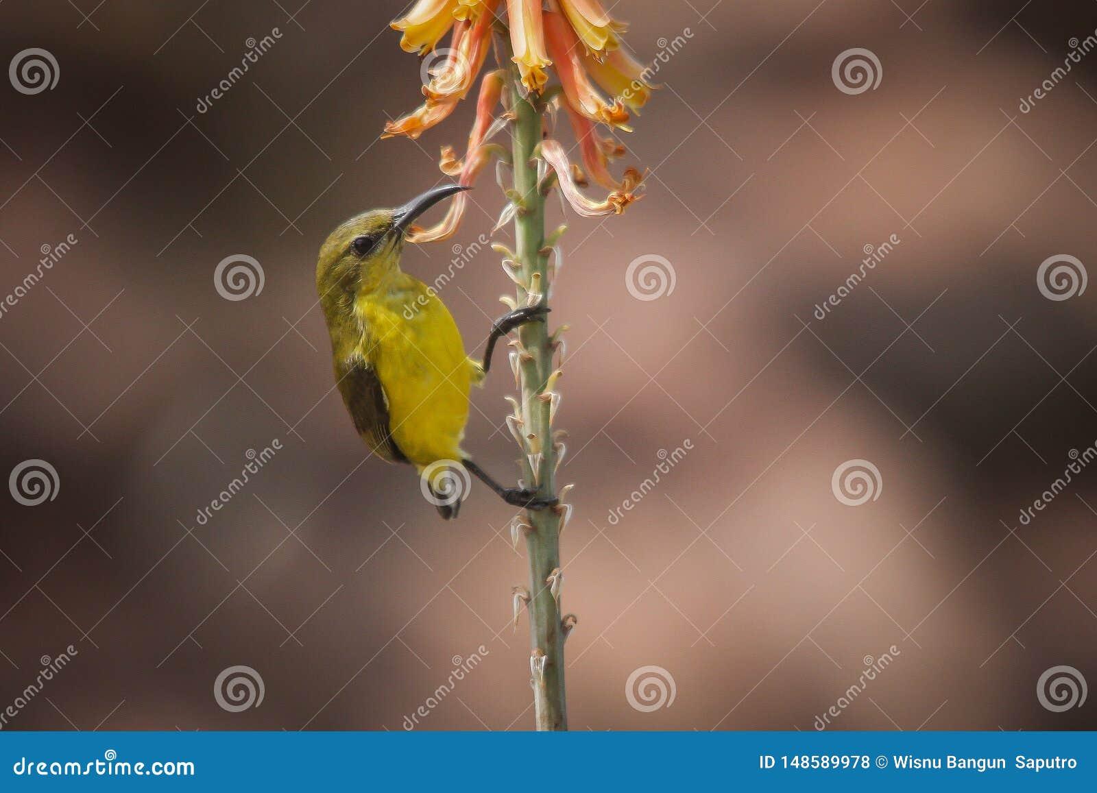 Le sunbird soutenu par l olive - faune