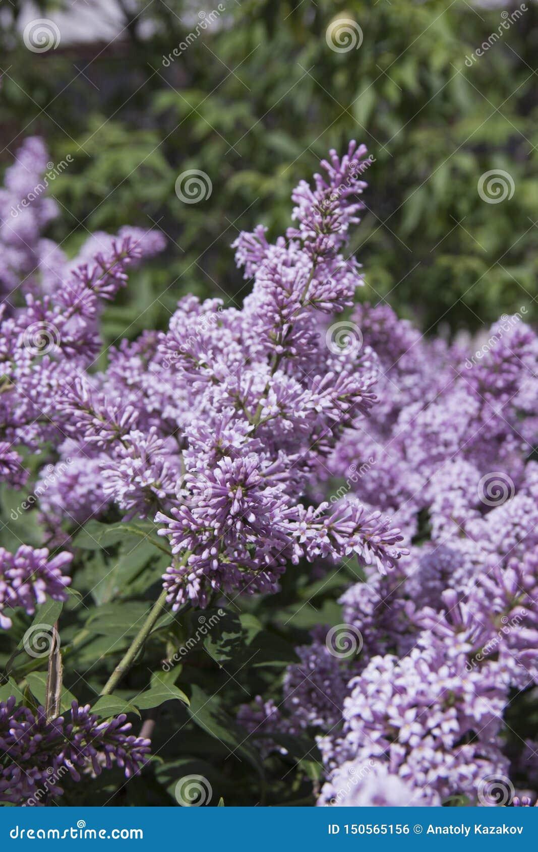 Le Syringa est un genre des arbustes appartenant à la famille d Oleaceae