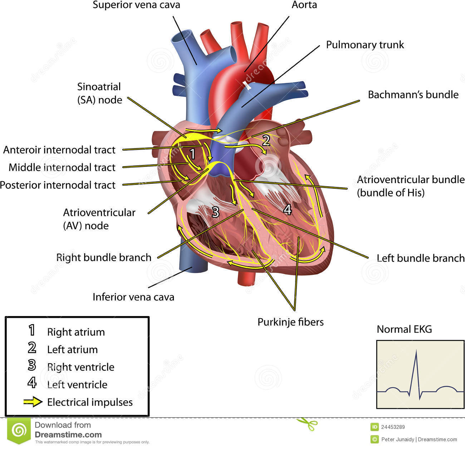 Le système électrique du coeur.